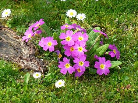 Primroses, Early Bloomer, Spring Awakening