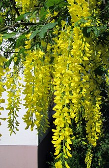 Laburnum, Tree, Golden, Yellow, Golden Chain