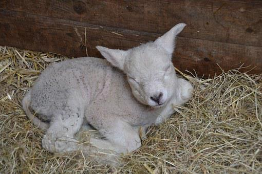 Lamb, Sheep, Farm, Wool, Nature, Agriculture