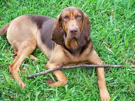 Bloodhound, Dog, Liver, Tan, Handsome, Puppy, Halston