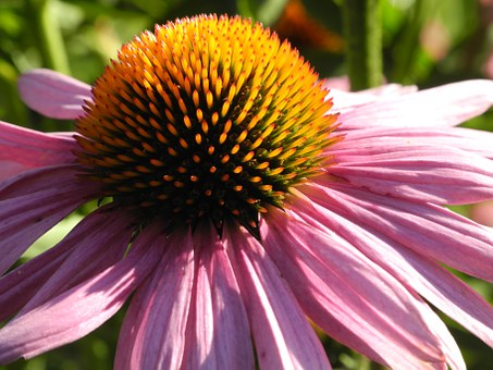 Echinacea, Sun Hat, Pink, Blossom, Bloom, Strong, Close
