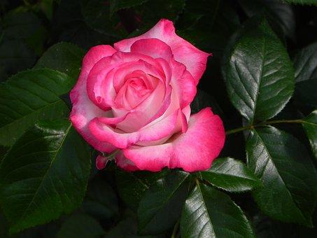 Rose, Nostalgia Rose, Floribunda, Flower, Bloom