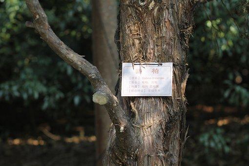 Sabina, Trees, Introduction, Plant