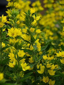 Gold-loosestrife, Yellow, Flowers, Blossom, Bloom