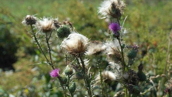 Thistle, Cirsium Vulgare, Flower, Violet, Summer