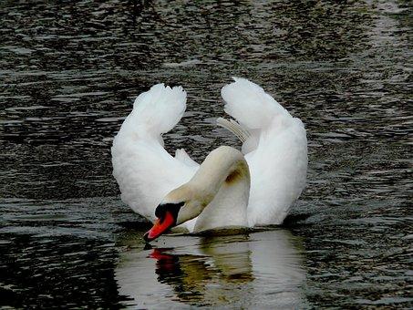 Elegant, Swan, Drinking, Water, Bird, Fly, Wings
