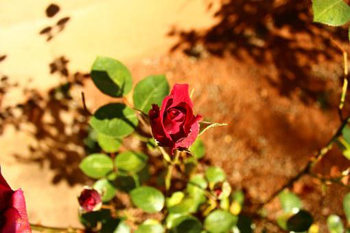 Red, Rose, Above Stone, Garden, Summer, Park