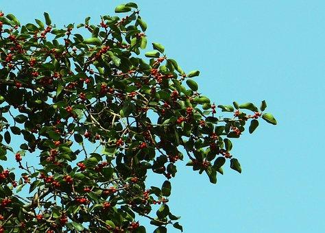Ficus, Fig, Ficus Benghalensis, Indian Banyan, Banyan
