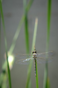 Dragonfly, Insect, Insects, Bug, Bugs, Dragonflies