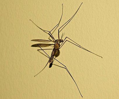 Komarzyca, Komar, Mosquito, Culicidae, Insect, Muchówka