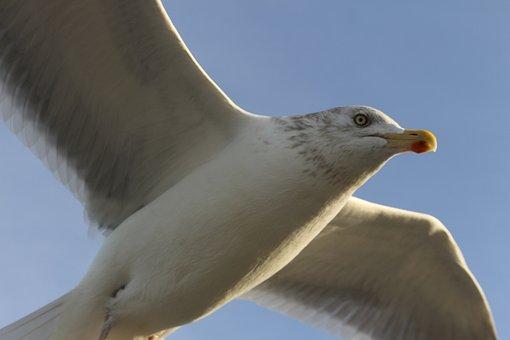 Seagull, Sky, Blue, Bird, Fly, Baltic Sea, Water Bird
