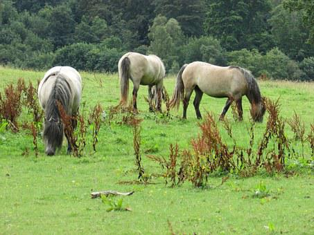 Horses, Field, Grazing, Animal, Farm, Stallion, Brown
