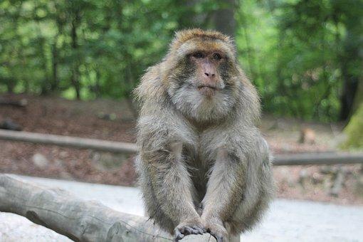 Rhesus, Monkey, Animal, Monkey Portrait
