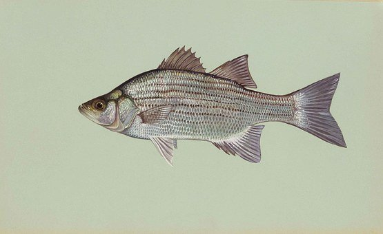 Fish, White, Chrysops, Morone, Bass, Fishes, Animals