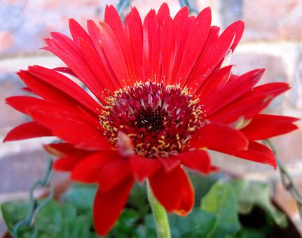 Flower, Daisy, Baberton, Red, Petals, Concentric