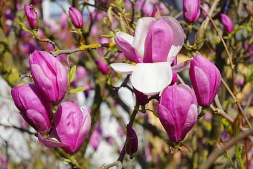 Magnolia, Magnolia Blossom, Blossom, Bloom, Petals