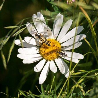 Marguerite, Insect, Flower, Blossom, Bloom, White