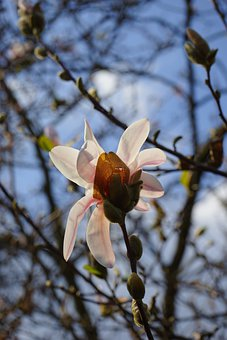 Summer-magnolia, Blossom, Bloom, White