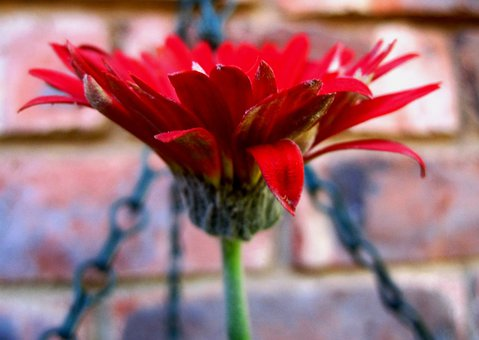 Daisy, Baberton, Flower, Red, Petals, Delicate