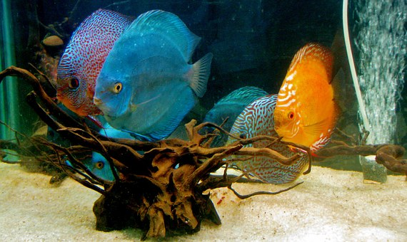 Discus Fish, Fish, Aquarium, Fish Tank, Water