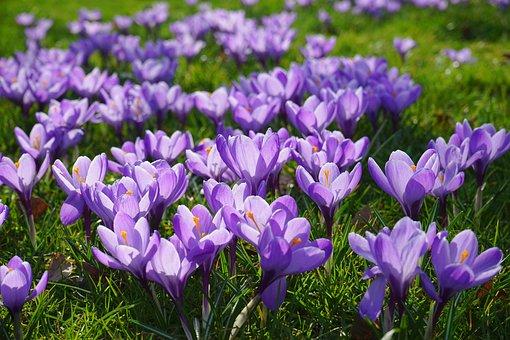 Crocus, Flower Meadow, Fill, Flora, Flowers, Blütenmeer