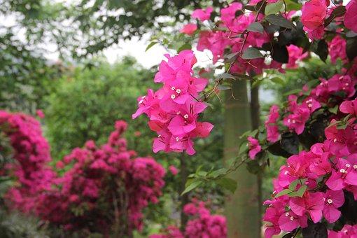 Bougainvillea, Flower, Plant, Powder, Bushing, Section