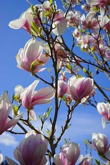 Tulip Magnolia, Flowers, Blütenmeer