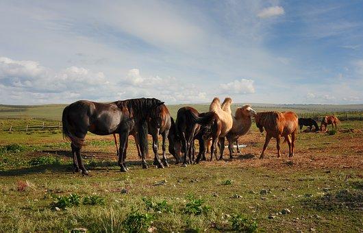 Camel, Horses, Farm, Rural, Landscape, Animals, Summer