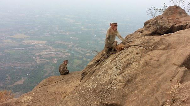 Monkeys, India, Rhesus Macaque, Hill, Wildlife