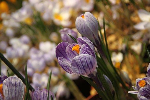 Spring, Crocus, Flower, Greens, Living Nature, Closeup