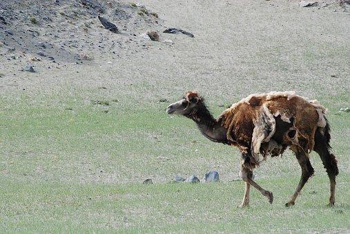 Wild Camel, Mountain, Animal, Mammal, Wildlife, Outdoor