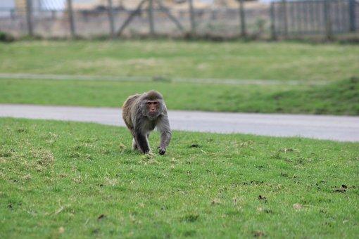 Monkey, Rhesus Monkey, Monkey Walk, Green Walking