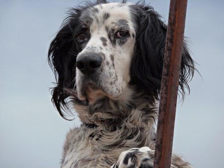 Dog, Pet, Portrait, Friend, Animal, Observe, Eyes