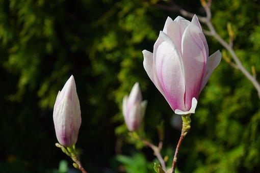 Tulip Magnolia, Flowers, Light Pink, Pink, Blütenmeer