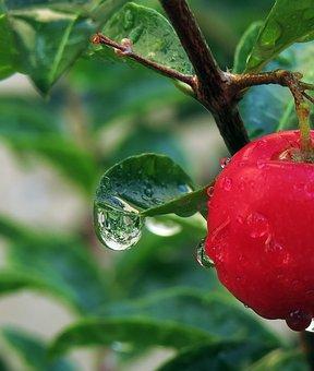 Red, Green, Acerola, Drops, Rain Drops, Reflection