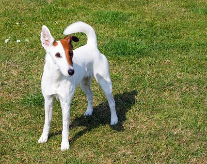 Fox Terrier, Smooth Fox Terrier, Terrier, Dog, Breed