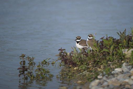 Plovers, Bird, Pond, Field Birds, Ddo, Ariège, Mazères
