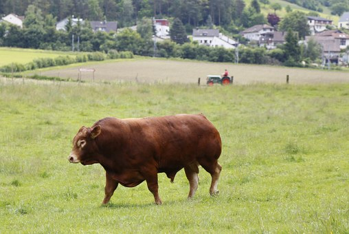 Bull, Beef, Limousin, Meat Breeds