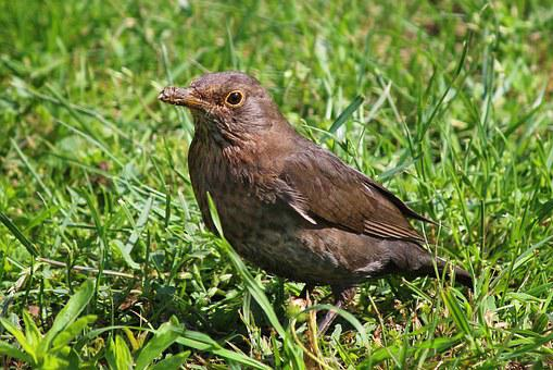 Blackbird, Garden, Grass, Nature, Green, Lawn, Plant