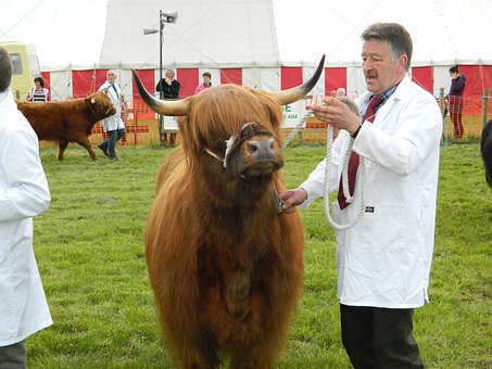 Highland, Cattle, Scotland, Bull, Show, Breeding