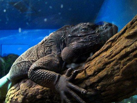 Iguana, Reptile, Wildlife, Nature, Close-up, Branch