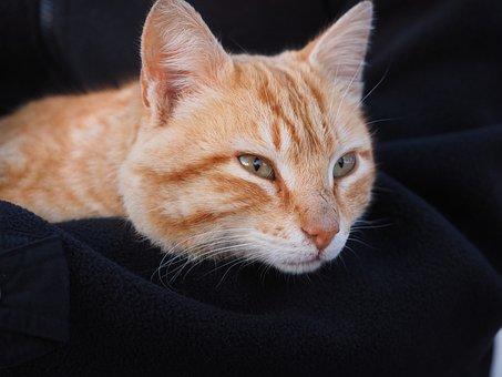 Cat, Red, Red Cat, Domestic Cat, Kitten