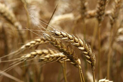 Wheat, Ear, Ripe, Field, Harvest, Summer, Sunny