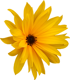 Marguerite, Png, Flower, Clipping, Graphics