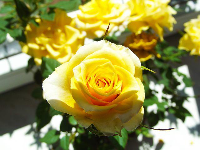 Yellow Rose, Flower, Beauty, Flowering