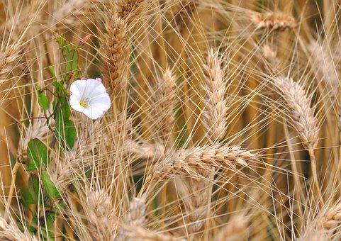 Grain, Flower, Nature, Plant, Spring, Green, Garden