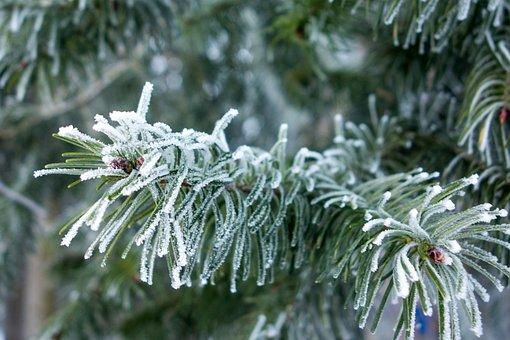 Winter, Fir, Ice, Frost, Ripe, Hoarfrost, Wintry