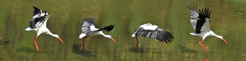 White Stork, Flight, Bird Flight, Measly Wörth, Kühkopf