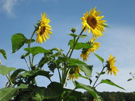 Sunflowers, Flowers, Giverny, Monet's Garden