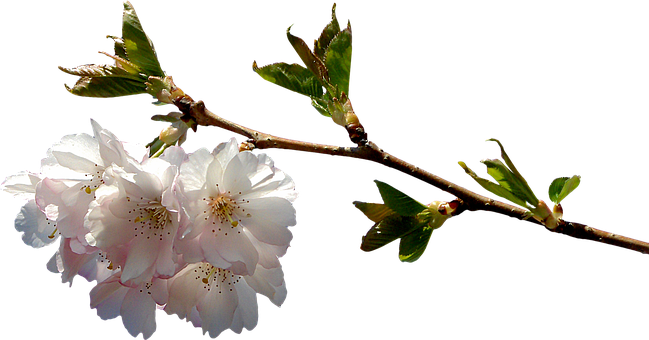 Prunus, Branch, Png, Graphics, Clipping, Plant